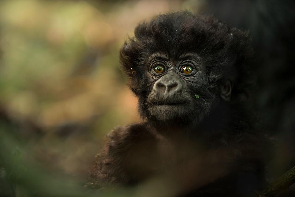 Photographing Mountain Gorillas   Uganda Rwanda Photography Safari   Trai Anfield