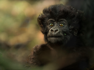 Photographing Mountain Gorillas: All You Need To Know