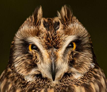 Trai Anfield short eared owl Lindisfarne