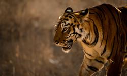 tiger Maia Tadoba-8623.jpg