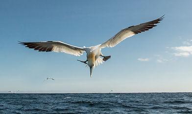 gannets Farnes_WEB-8119.jpg