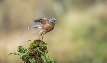 sparrow hawk-1799.jpg
