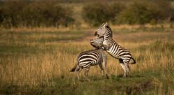 Trai Anfield Enlightened Photographic Safaris Serian zebra fight-5743_WEB.jpg