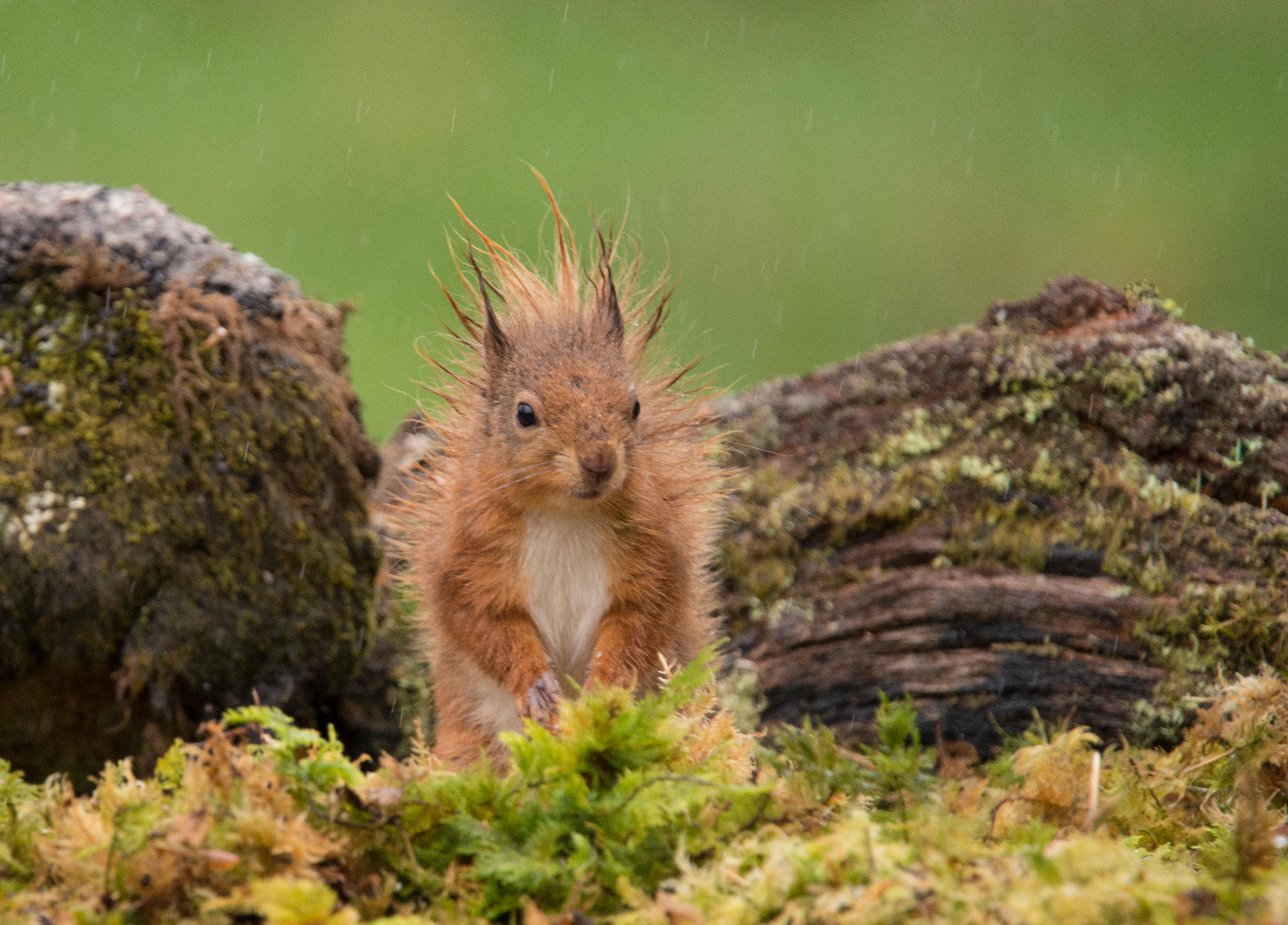 Red Squirrel - Punk-6010.jpg