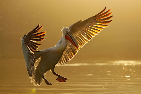 Greece pelican evening flight_WEB.jpg