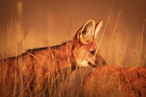 Brazil Photography Safari Trai Anfield Photography maned wolf golden hour_WEB.JPG