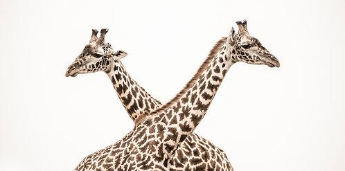 Giraffes Crossing