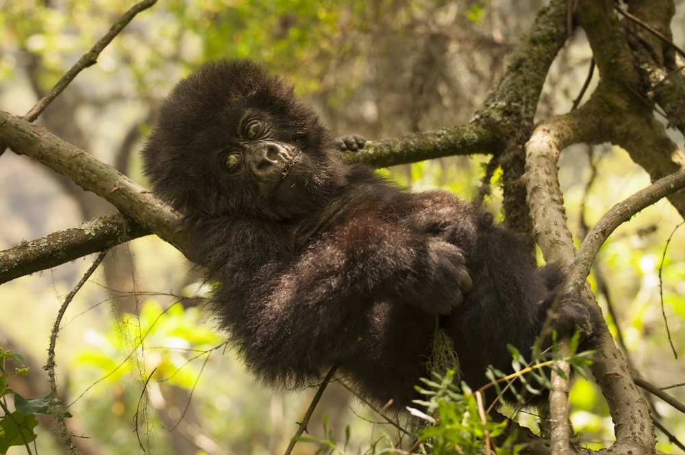 gorilla baby_DSC6770Mountain Gorilla, Rwanda, Volcanoes National Park.jpg