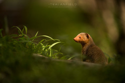 Trai Anfield Enlightened Photographic Safaris Kenya Serian dwarf mongoose-3391_WEB.jpg