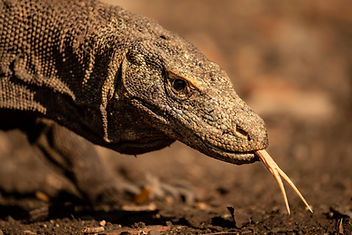 trai anfield photographic safaris Komodo