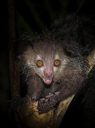 Aye aye Madagascar-.jpg