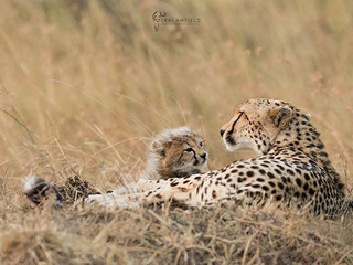 Cheetah Update - How Quickly They Grow Up!