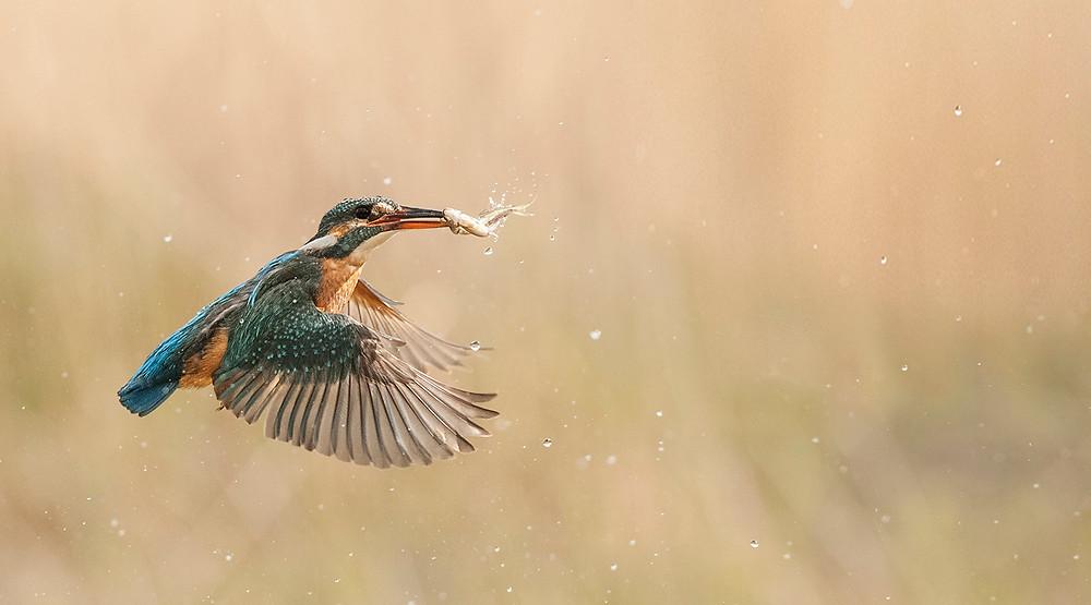 UK wildlife photography safari   kingfisher   Trai Anfield Photography Safaris