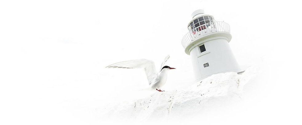 Farne Islands Tern, Lighthouse