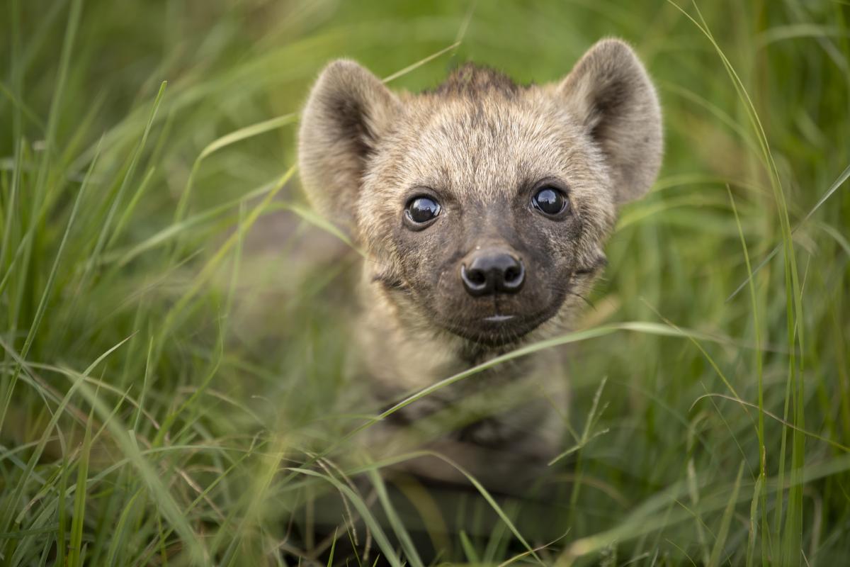 Trai Anfield baby hyena curious Mara Nor