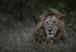2 Trai Anfield Enlightened Photographic Safaris Kenya Serian lion male-4525.jpg