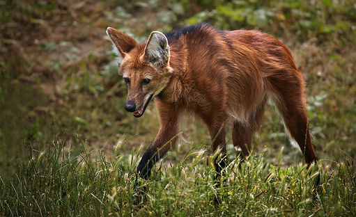 Brazil Photography Safari Trai Anfield Photography maned wolf