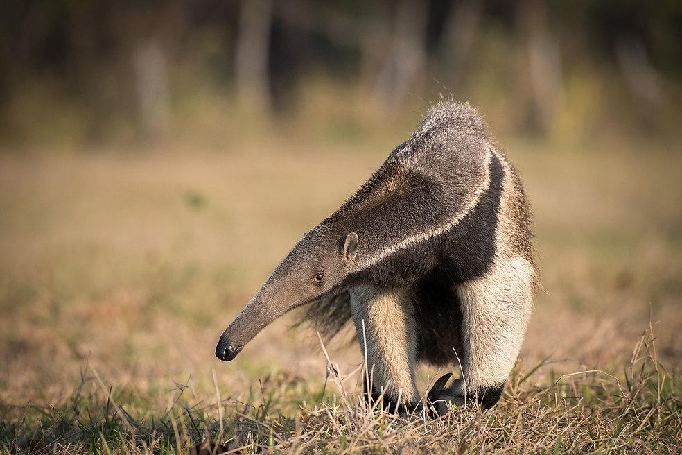 Brazil Photography Safari Trai Anfield Photography giant anteater_WEB.JPG