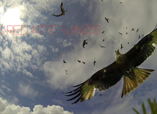 Celebrating Our Red Kites!