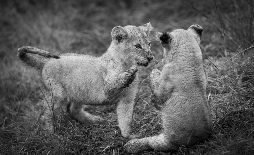 Trai Anfield lion cubs playing b&w-6220.