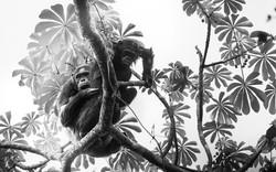 Rwanda chimpanzee b&w_WEB-0460.jpg