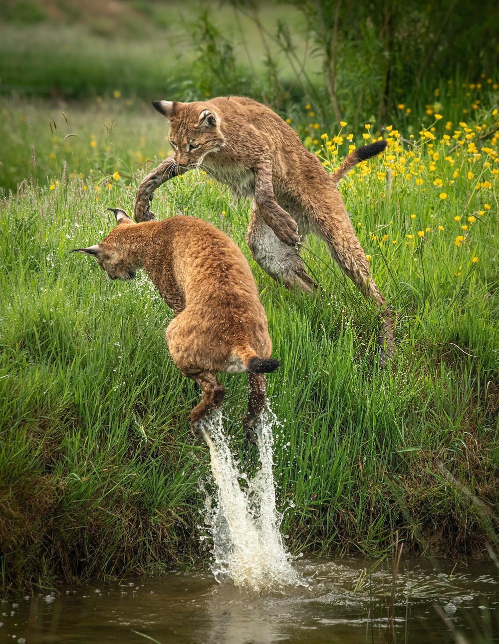 UK wildlife photography safari   lynx   big cat   Trai Anfield Photography Safaris