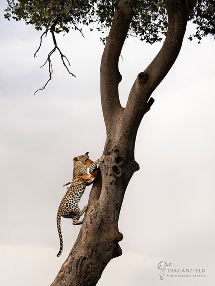 Trai Anfield Photography Safaris Leopard