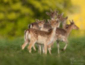fallow deer-6117_WEB_WM.jpg