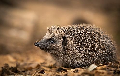 Best of British -Hedgehog