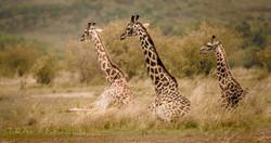 Trai Anfield Enlightened Photographic Safaris Serian giraffes sitting-6528-2_WEB.jpg