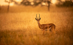 Trai Anfield grant gazelle early light-7
