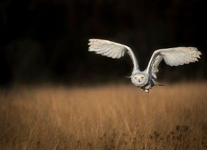 Raptors workshop image snowy owl