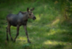 baby moose while cycling Anchorage-9936.