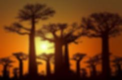 Madagascar trees sunset