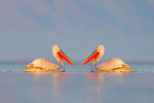 Greece pelicans reflect.jpg