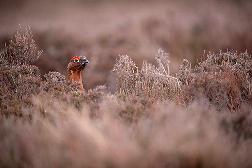 The Aviary #6 red grouse, County Durham