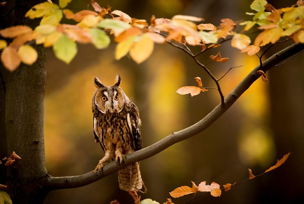 UK wildlife photography safari   long eared owl  Trai Anfield Photography Safaris