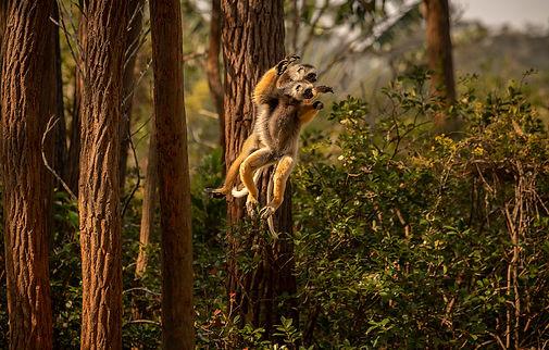 sifaka Madagascar-5734.jpg