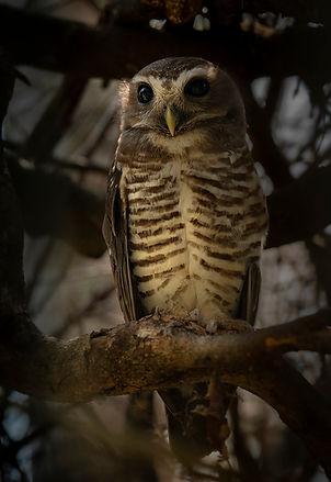 scops? owl Madagascar-1313.jpg