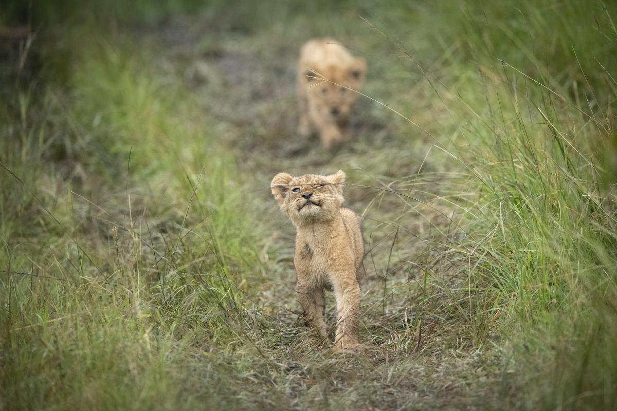 Trai Anfield zlion cub grass-6122
