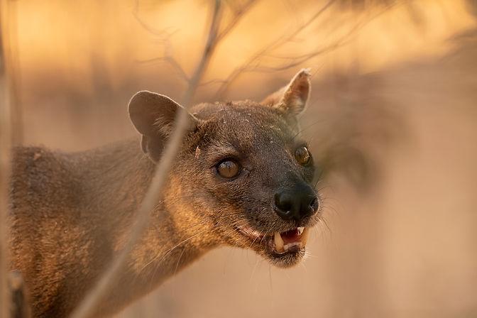 fossa Madagascar-9909.jpg
