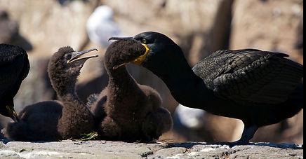 Farne Islands shag feeding young