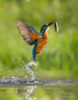 kingfisher-6867_WEB_WM.jpg