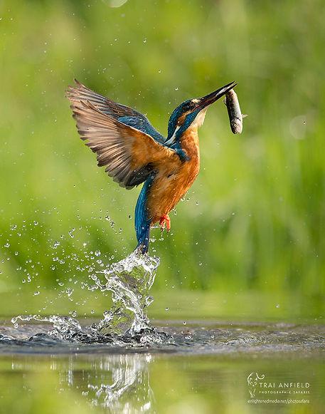 kingfisher-6867_WEB_WM.jpg