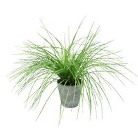 Gisela Graham Faux Sea Grass in Pot 46cm