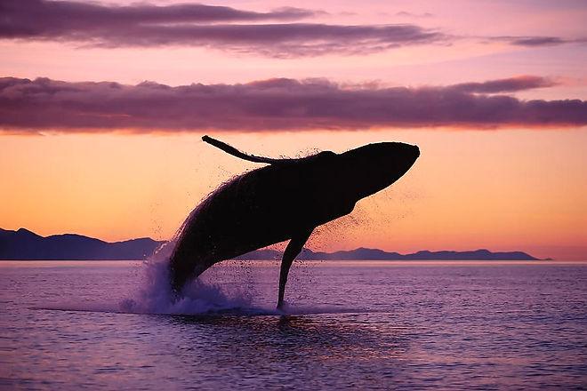 humpback-whale-breaching-sunset-john-hyd