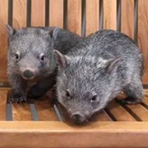 Common Wombat  Somersby Animal Hospital