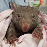 Wombat  Somersby Animal Hospital