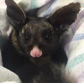 Possum  Somersby Animal Hospital