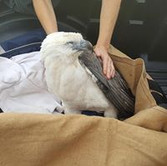Sea Eagle  Somersby Animal Hospital